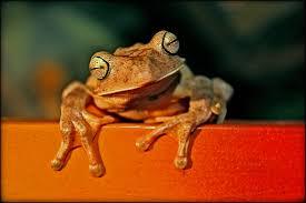 frog-invasion